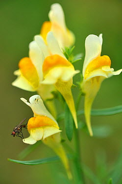 Common toadflax (Linaria vulgaris) with fly,  -  Michel Poinsignon/ npl