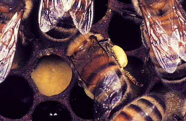 Honey Bee (Apis mellifera) tending to a cell at the nest The bee will provision the cell with pollen and nectar ('bee bread') from its pollen basket or 'corbicula'  -  John B Free/ npl