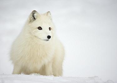Arctic Fox (Vulpes lagopus) in winter coat Norway, Captive, March  -  Danny Green/ NPL