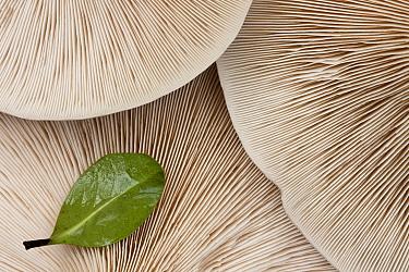 Gills of Fleecy Milkcap (Lactarius vellereus) Bolderwood, New Forest National Park, Hampshire, England, UK, November  -  Guy Edwardes/ 2020V/ npl