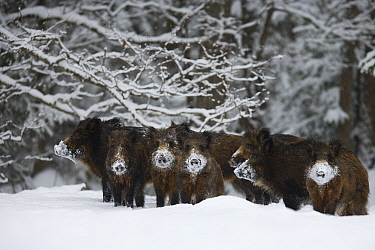 Wild boar (Sus scrofa) herd with snow covered noses from feeding, Alam-Pedja Nature reserve, Estonia, February 2006  -  WWE/ Zacek/ npl