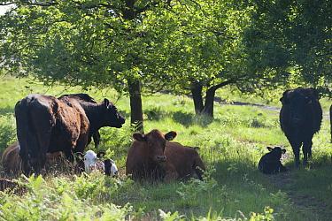 Dexter and Luing Cattle grazing at Caesar's Camp, Fleet, England, UK, May  -  Paul Harris/ 2020V/ npl