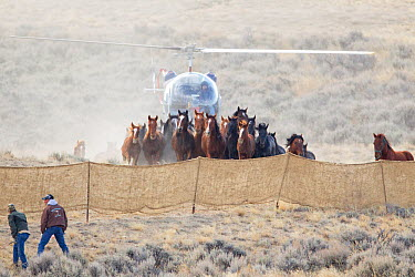 Wild horses, Mustangs, group herded into corral by helicopter, Great Divide Basin, Wyoming, USA, October 2011  -  Carol Walker/ npl