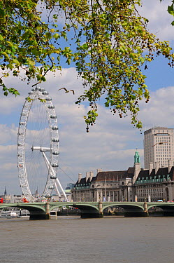 London Plane Trees (Platanus x hispanica) overhanging the River Thames with the London Eye, Westminster Bridge and County Hall in the background, London, UK, May 2012  -  Nick Upton/ npl