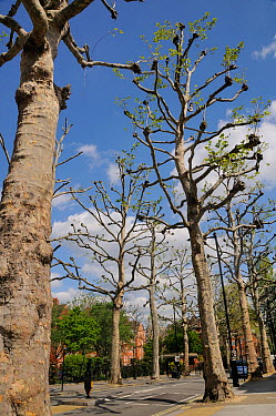 Pollarded London Plane Trees (Platanus x hispanica) lining a residential street, Millbank, London, UK, May 2012  -  Nick Upton/ npl