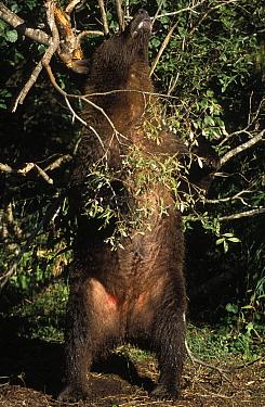 Kodiak, Alaskan brown bear (Ursus arctos middendorffi) female standing to scratch back against tree, Katmai NP, Alaska, USA  -  Suzi Eszterhas/ npl