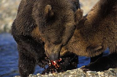 Kodiak, Alaskan brown bear (Ursus arctos middendorffi) mother with 2 years-old juvenile feeding on salmon, Katmai NP, Alaska, USA  -  Suzi Eszterhas/ npl