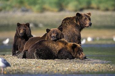 Kodiak, Alaskan brown bear (Ursus arctos middendorffi) mother with three 2 years-old juvenile cubs, Katmai NP, Alaska, USA  -  Suzi Eszterhas/ npl