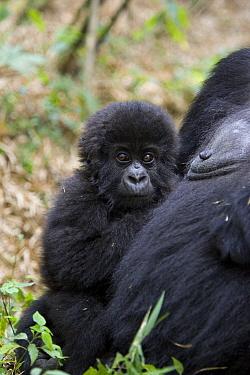Mountain gorilla (Gorilla gorilla beringei) 10-months infant held against mother's chest, Parc National des Volcans, Rwanda  -  Suzi Eszterhas/ npl