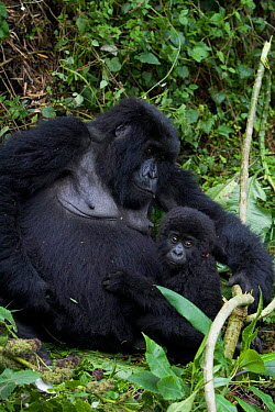 Mountain gorilla (Gorilla gorilla beringei) mother with 3-months infant, Parc National des Volcans, Rwanda  -  Suzi Eszterhas/ npl