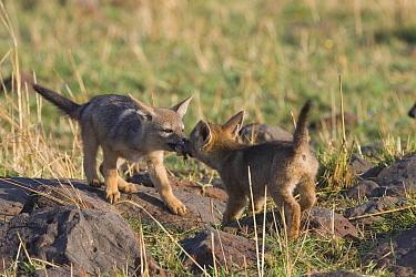 Black-backed Jackal (Canis mesomelas) two pups playing 'tug of war' with a piece of meat, Masai Mara Triangle, Kenya  -  Suzi Eszterhas/ npl