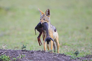 Black-backed Jackal (Canis mesomelas) carrying Thomson's gazelle fetus after pulling it out of pregnant female, Masai Mara Triangle, Kenya  -  Suzi Eszterhas/ npl