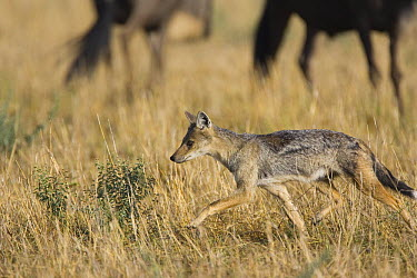 Side-striped Jackal (Canis adustus) trotting past Wildebeest, Masai Mara Triangle, Kenya  -  Suzi Eszterhas/ npl