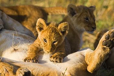 African lion (Panthera leo) young cub (8-weeks) suckling, Masai Mara Triangle, Kenya  -  Suzi Eszterhas/ npl