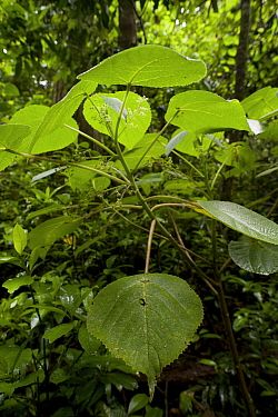 The stinging tree, Gympie-Gympie (Dendrocnide moroides) in rainforest, Tolga, Atherton Highlands, Queensland, Australia One of the world most venomous plants which can cause months of excruciating pai...  -  Jurgen Freund/ npl