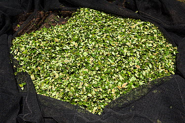 Harvest of Coca (Erythroxylum coca) leaves in net ready to be taken to the market in La Paz, Bolivia, November  -  Roy Mangersnes/ npl