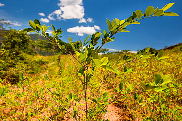 Cultivated Coca (Erythroxylum coca) plants growing the valleys below the Andes, Bolivia, November  -  Roy Mangersnes/ npl