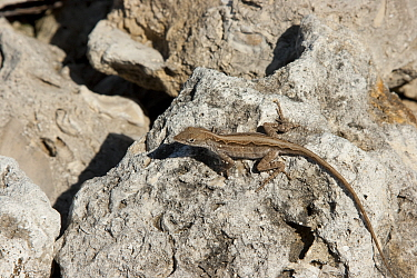 Brown anole (Anolis sagrei) female on rock Introduced species Everglades National Park, South Florida, USA, May  -  Barry Mansell/ npl