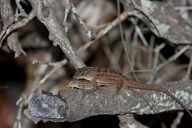 Brown anole (Anolis sagrei) female and male mating, invasive species, Everglades National Park, South Florida, USA, May  -  Barry Mansell/ npl