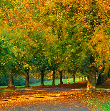 Autumn colour in the trees blowing in the wind, The Promenade, Clifton Downs, Bristol, England, UK  -  David Noton/ npl