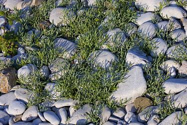 Orache (Atriplex sp) growing between the pebbles on a storm pebble beach, Pwll Du Gower, Wales, UK, June  -  David Woodfall/ npl