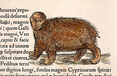Three toed sloth (Bradypus variegatus) From Conrad Gesner's 'Icones Animalium' published by Christof Froschover, Zurich, 1560 This strange animal is derived from an early Spanish conquistador image re...  -  Paul D Stewart/ npl
