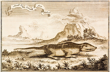 1720 illustration of 'small cape lizard' from southern Africa Apparently a very devout lizard, it carried three crosses on its back Henri Chatelain appears to have published the original in French in...  -  Paul D Stewart/ npl