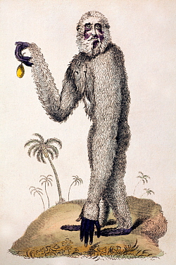 Illustration of Gibbon (Hylobates lar), 1812 copperplate engraving of a 'lar or long armed ape' (gibbon) from Pantalogia New Cyclopedia, published by Sherwood and Co, Paternoster St London Few large p...  -  Paul D Stewart/ npl