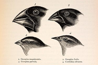 Illustration from page 379, 'Journal of Researches' 2nd Edition 1845 Charles Darwin The contrasting beaks of four Galapagos finches, three Geospizinae genus and one Certhidea (Warbler finch) Darwin or...  -  Paul D Stewart/ npl