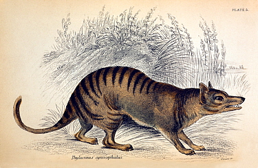 Illustration of extinct Thylacine, Tasmanian Tiger (Thylacinus cyanocephalus) engraved by W Lizars From Jardine's series 'The Naturalist's Library; Mammalia' 1841 ('The Natural History of Marsupialia...  -  Paul D Stewart/ npl
