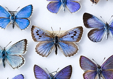 Male Large Blue Butterfly (Maculinea eutryphon, arion) collected in 1865 It is here surrounded by other extant UK blue butterfly species The large Blue was first recorded as a British species in 1795...  -  Paul D Stewart/ npl