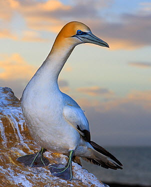Portrait of Australasian Gannet (Morus serrator) taken at sunset Black Reef Gannet Colony, Cape Kidnappers, Hawke's Bay, North Island, New Zealand October  -  Andy Trowbridge/ npl