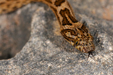 Spotted Rock Snake (Lamprophis guttata) Pringle Bay, Western Cape, South Africa  -  Tony Phelps/ npl