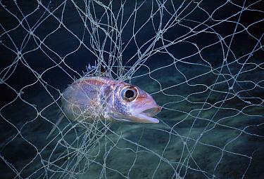 Spotfin Squirrelfish (Neoniphon sammara) caught in Bedouin gill net, Egypt, Red Sea  -  Jeff Rotman/ npl