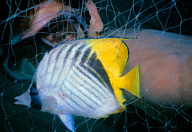 Threadfin Butterflyfish (Chaetodon auriga) diver observing fish caught in Bedouin gill net, Egypt, Red Sea Model released October 2002  -  Jeff Rotman/ npl