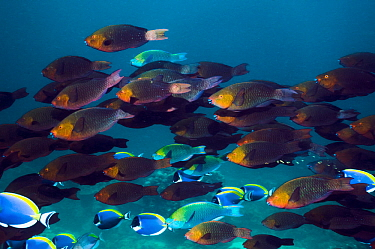 Greenthroat or Singapore parrotfish (Scarus prasiognathus) large school of females with some terminal males and Powderblue surgeonfish (Acanthurus leucosternon) swimming over coral reef Andaman Sea, T...  -  Georgette Douwma/ npl
