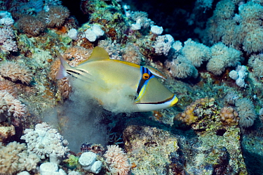 Picasso triggerfish (Rhinecanthus assasi) expels sand from gills after feeding, Red Sea  -  Georgette Douwma/ npl