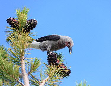 Clark's Nutcracker (Nucifraga columbiana) eating seeds from its favourite food plant, the Whitebark Pine (Pinus albicaulis), Western USA  -  Mark Taylor/ npl