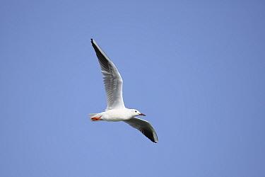 Slender billed gull (Larus genei) in flight, Oman, February  -  Hanne & Jens Eriksen/ npl