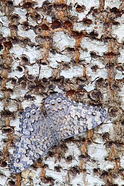 Gray Cracker Butterfly (Hamadryas februa), Dzibilchaltun, Yucatan Peninsula, Mexico, August  -  Claudio Contreras/ npl