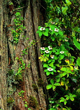 Canadian Bunchberry (Cornus canadensis) flowering nest to Western Red cedar (Thuja plicata) tree trunk in Tofino old growth forest, Vancouver Island, British Columbia, Canada  -  Oriol Alamany/ npl