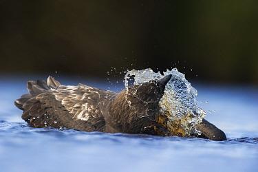 Brown Skua (Stercorarius antarcticus) bathing, Auckland Islands New Zealand November  -  Ole Jorgen Liodden/ npl