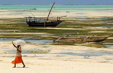 Woman carrying sack of seaweed collected along shore, low tide, Jambiani East Coast, Zanzibar Island, Tanzania  -  Enrique Lopez Tapia/ npl