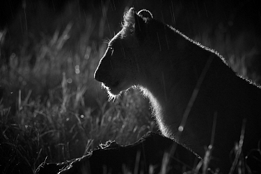 Marsh pride lion cub (Panthera leo) on a moonless night, Masai Mara, Kenya Taken with infra red camera, September  -  Mark MacEwen/ npl