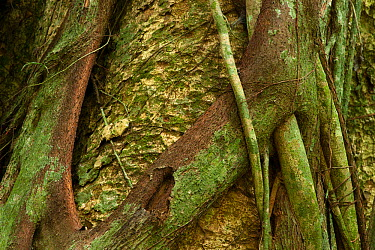 Ngoumou' strangler Fig tree (Ficus sp) wrapped around host tree, which it will eventually kill The latex (Idjoro) is used for killing birds by local people, hunters roll the latex onto sticks which ar...  -  Jabruson/ npl