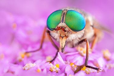Horsefly (Philipomyia aprica) Aosta Valley, Monte Rosa Massif, Pennine Alps, Italy July  -  Alex Hyde/ npl