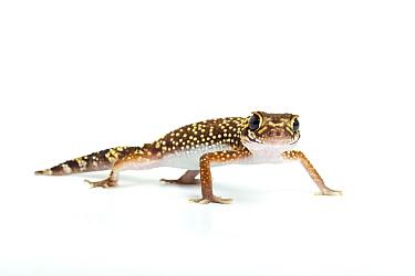 Thick-tailed, Barking Gecko (Nephrurus, Underwoodisaurus milii) Endemic to Australia  -  Chris Mattison/ npl