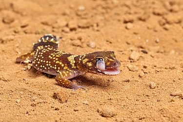 Australian thick-tailed gecko (Underwoodisaurus, Nephurus milii) licking its eye Captive Endemic to Australia  -  Chris Mattison/ npl