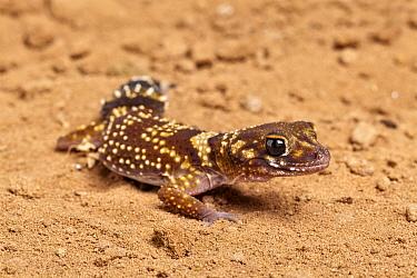 Australian thick-tailed gecko (Underwoodisaurus, Nephurus milii) Captive Endemic to Australia  -  Chris Mattison/ npl