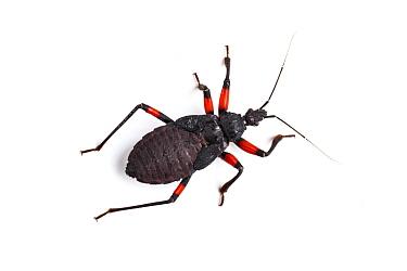 White-spotted assassin bug (Platymeris biguttata) nymph  -  Chris Mattison/ npl